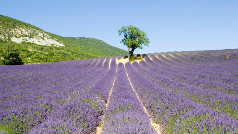 Lavender fields in Provence with the DMC Destination Provence